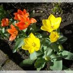 tulipes_au_printemps